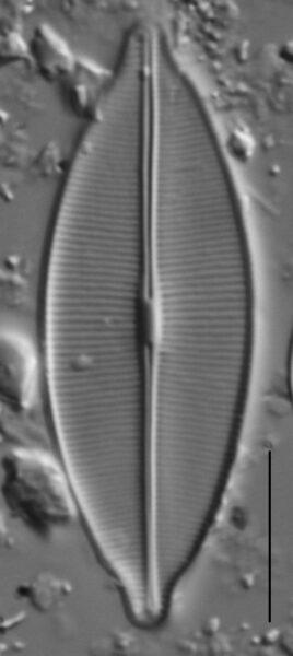 Craticula accomodiformis LM4