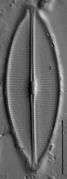 Craticula accomodiformis LM7
