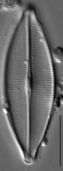 Craticula accomodiformis LM6