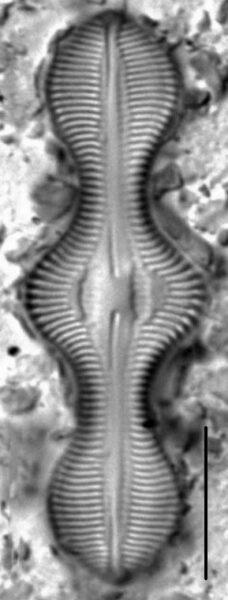 Caloneis lewisii LM7