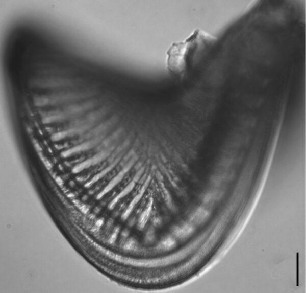 Campylodiscus1