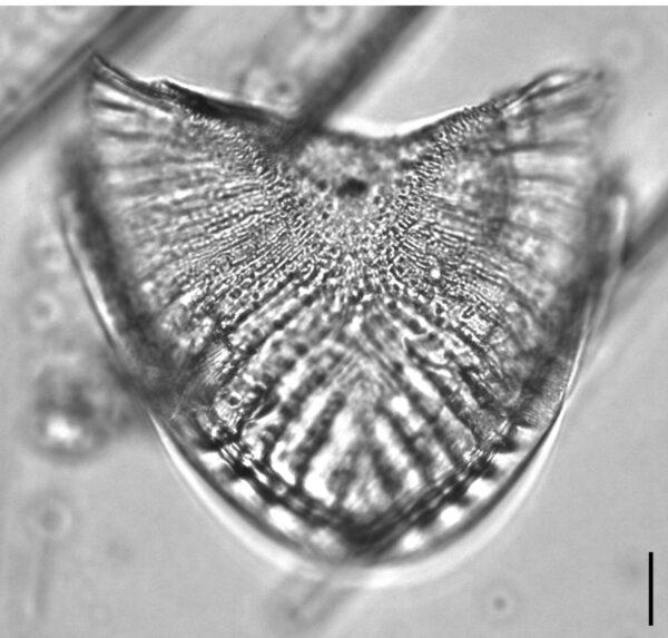 Campylodiscus5