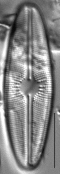 Cavinula davisiae LM1
