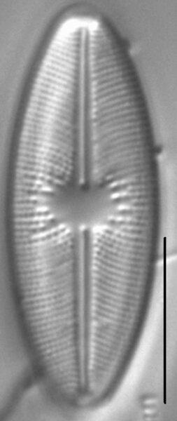 Cavinula davisiae LM3