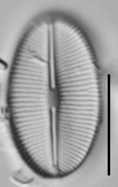 Cavinula Jaernefeltii Nyhp001 A 121417 05 C