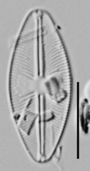 Cavinula Lapidosa Me10011 B 101117 153 C