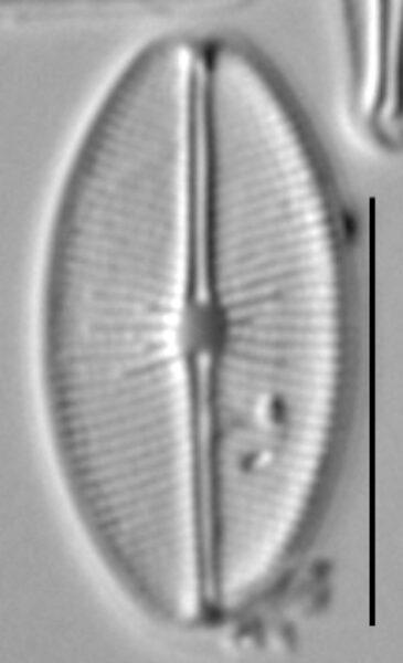 Cavinula cocconeiformis LM3