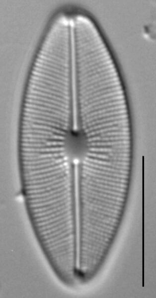 Cavinula cocconeiformis LM1