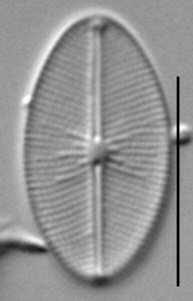 Cavinula cocconeiformis LM4