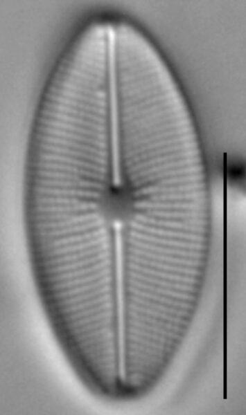 Cavinula cocconeiformis LM2