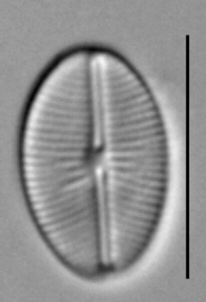 Cavinula cocconeiformis LM5