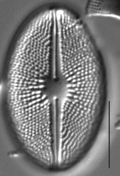 Cavicula scutiformis LM3