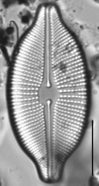 Cosmioneis citriformis LM7