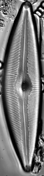 Cymbopleura crassipunctata LM2