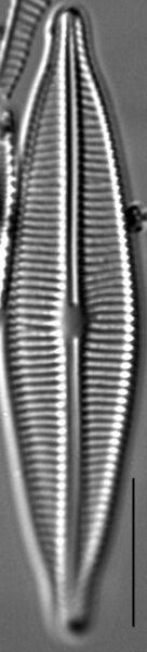 Craticula buderi LM1