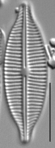 Craticula buderi LM6