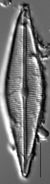 Crathalophila2