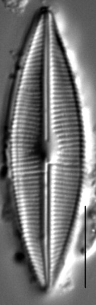 Crathalophila7