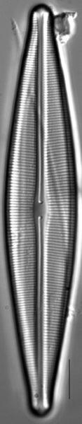 Craticula johnstoniae LM1