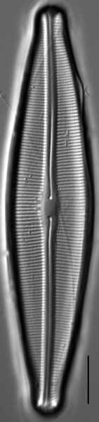 Craticula johnstoniae LM2