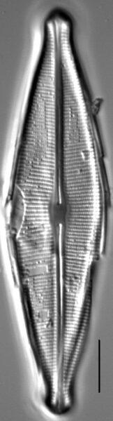 Craticula johnstoniae LM4