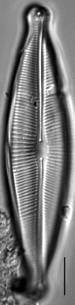 Craticula johnstoniae LM5