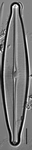 Craticula johnstoniae LM7