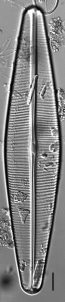 Craticula pampeana LM1
