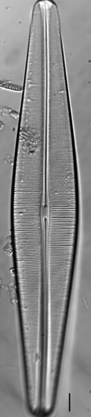 Craticula pampeana LM2