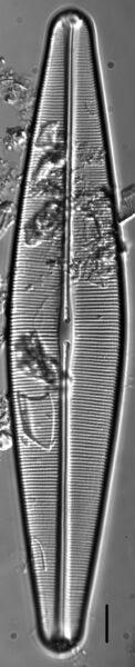 Craticula pampeana LM3