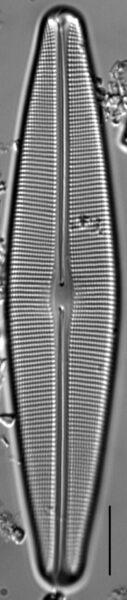 Craticula sardiniana LM3