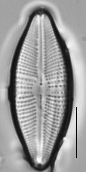 Cosmioneis reimeri LM3