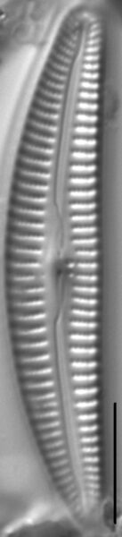 Cymbella Rumrichae 013601