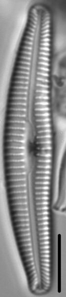 Cymbella Rumrichae 076101