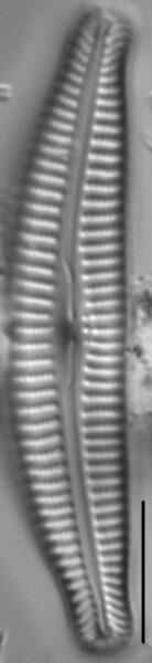 Cymbella Rumrichae 4546 1