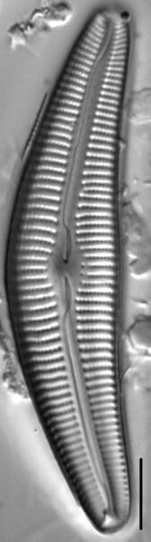 Cymbella Cymbiformis 439301 5