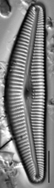 Cymbella maggiana LM4