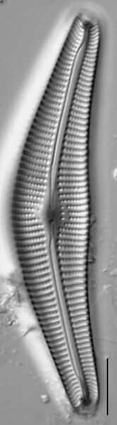 Cymbella Neocistula  L 4 33 2