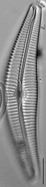 Cymbella Neocistula  L 4 33 3