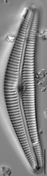 Cymbella Neocistula  L 4 33 4