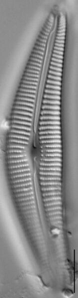 Cymbella Neocistula  L 4 33 6
