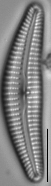 Cymbella parva LM1
