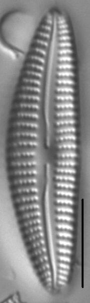 Cymbella Subleptoceros3
