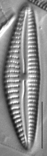 Cymbella Subleptoceros4