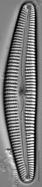Cymbella Vulgata1