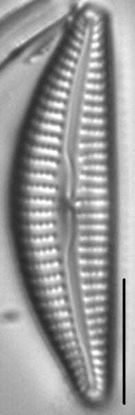 Cymbella Vulgata6
