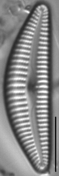 Cymbella Vulgata7