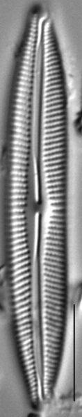 Cymbopleura incertiformis var. linearis LM7
