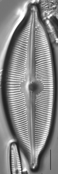 Cymboapiculata2
