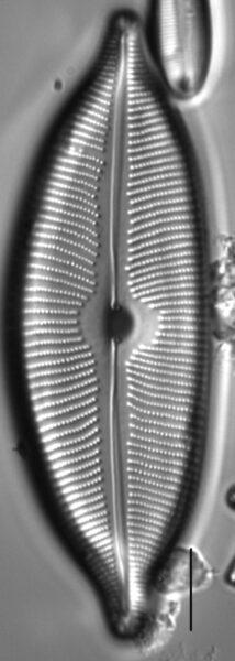 Cymboapiculata4